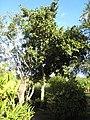 Heritiera littoralis- Jardin d'Éden.jpg