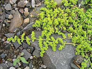 Glabrousness - Smooth rupturewort (Herniaria glabra) - a creeping plant with glabrous leaves and stems