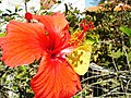 Hibiscus flower with butterfly- panoramio (3523).jpg