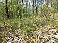 Hierochloe australis sl28.jpg