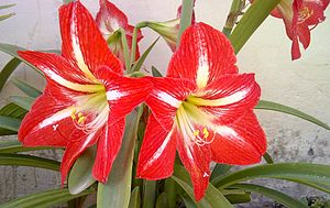 Gynoecium - Hippeastrum flowers showing stamens, style and stigma