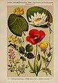 Hoffmann-Dennert botanischer Bilderatlas (Taf. 36) (6425000275).jpg