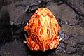 Horned Frog (4).jpg