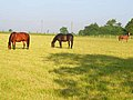 Horses at Washmere Green - geograph.org.uk - 185432.jpg