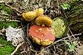 Hortiboletus rubellus (35728678703).jpg