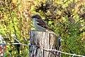 House Sparrow (2042364677).jpg