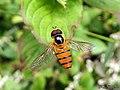 Hoverfly Asarkina sp. - Syrphidae (19601593058).jpg
