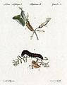 Huebner Tafel aus Geschichte Schmetterlinge.jpg