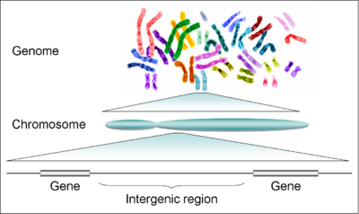 The human genome is composed of 23 pairs of chromosomes (46 in total), each of which contain hundreds of genes separated by intergenic regions.  Intergenic regions may contain regulatory sequences and non-coding DNA.