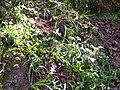 Hyacinthoides non-scripta Habitat 2010-4-02 SierraMadrona.jpg