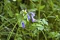 Hyacinthoides non-scripta en Baie de Saint-Brieuc.jpg