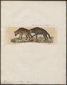 Hyaena crocuta - 1834 - Print - Iconographia Zoologica - Special Collections University of Amsterdam - UBA01 IZ22200091.tif