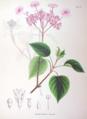 Hydrangea bracteata SZ92.png