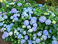 Hydrangea macrophylla Blauer Prinz 1.jpg