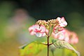 Hydrangea macrophylla at Ajisai-Yashiki Garden; 2010.jpg