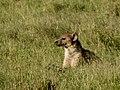 Hyena (2404469923).jpg