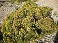 Hypericum.balearicum.jpg