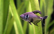 Male black phantom tetra in an aquarium