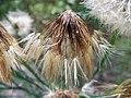 Hypochoeris radicata Kiev7.jpg