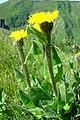 Hypochoeris uniflora Vill. (3701208218).jpg