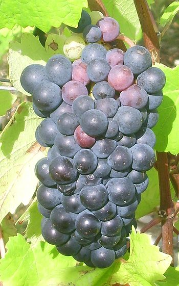 IMG Pinot Noir 1.JPG