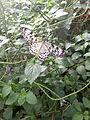 Idea Leuconoe (Large Tree Nymph) - Chester Zoo 02.jpg
