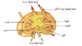 Illu lymph node structure-ar.png