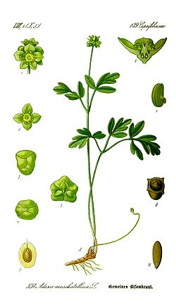 Illustration Adoxa moschatellina0 clean.jpg