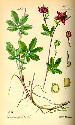 Illustration Comarum palustre0.jpg
