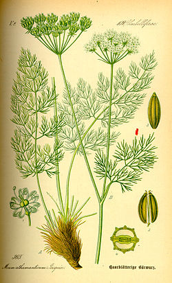 Illustration Meum athamanticum0.jpg