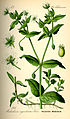 Illustration Stellaria aquatica0.jpg