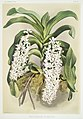 Illustration from Reichenbachia Orchids by Frederick Sander, digitally enhanced by rawpixel-com 022.jpg