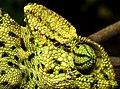 Indian Chameleon Chamaeleo zeylanicus by Dr. Raju Kasambe DSCN7134 (20).jpg