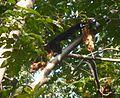 Indian Giant Squirrel. Ratufa indica elphenstoni - Flickr - gailhampshire (1).jpg