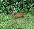Indian Muntjac, Barking Deer 2.jpg