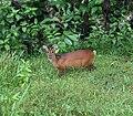 Indian Muntjac, Barking Deer 2.jpg