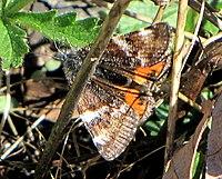 Infant (moth).jpg