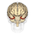 Inferior temporal gyrus - anterior view.png