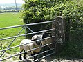 Inquisitive sheep - geograph.org.uk - 1402463.jpg