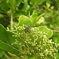 Insects Bee from Madayipara DSCN2161.jpg