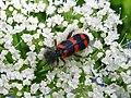 Insekt auf einem Doldenblütler.jpg