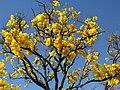 Ipê amarelo (Tabebuia serratifolia) na Rodovia Brigadeiro Faria Lima - SP-326, próximo a Bebedouro. - panoramio.jpg