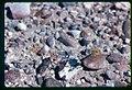 Ipomopsis polycladon- synonym Gilia polycladon plant in SW Idaho 2.jpg