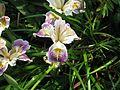 Iris Californian hybrid - Flickr - peganum (1).jpg