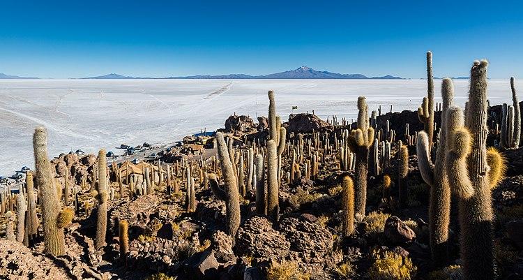 Эхинопсисы, растущие на холме посреди солончака Уюни