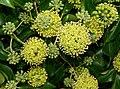 Ivy flowers, Belfast - geograph.org.uk - 1535876.jpg