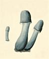 J. Sturm - Verpa grisea.png