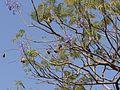 Jacaranda mimosifolia (4398343572).jpg