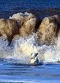 Jack Russell - Eddi at the Beach - panoramio.jpg