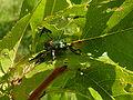 Japanese beetle eats peach leaves P1000160.jpg
